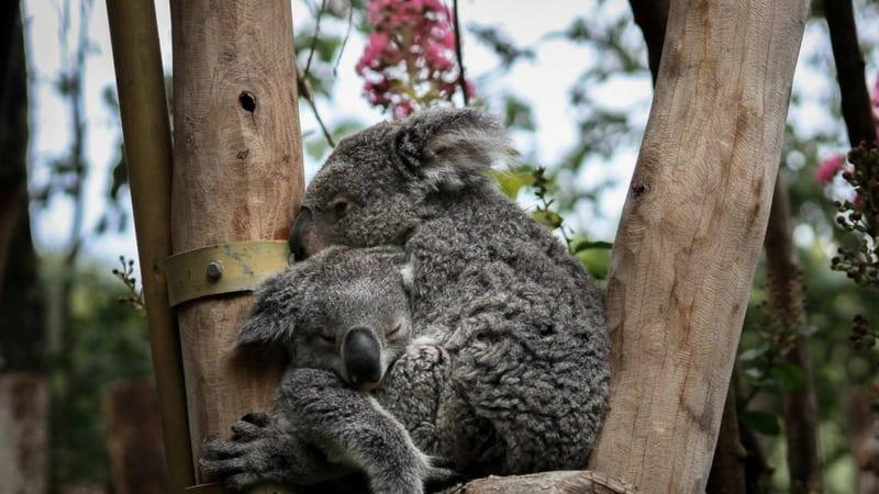 koalas hugging in the tree
